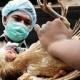 Очередная вспышка птичьего гриппа