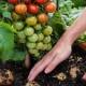Зеленые помидоры эффективны в лечении мышечной атрофии