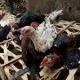 Птичий грипп унес еще  одну жизнь